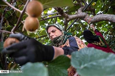 صور: محصول الكيوي في كيلان شمال ايران