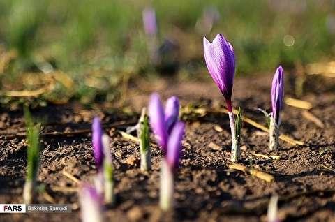 زهور الزعفران في محافظة كردستان الايرانية