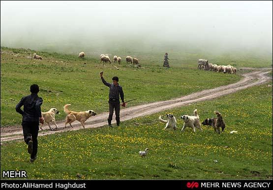 کانال تلگرام فروش گاو
