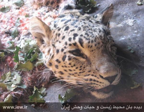 محکومیت عامل کشتار پلنگ به 2 سال زندان +حکم