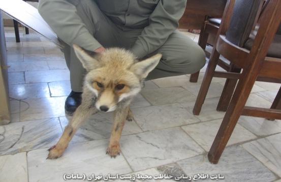 واکنش قابل توجه مرد روستایی در مقابل روباه مهاجم