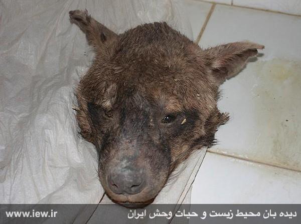 دستگیری عامل کشتار بی رحمانه کفتار در کلات