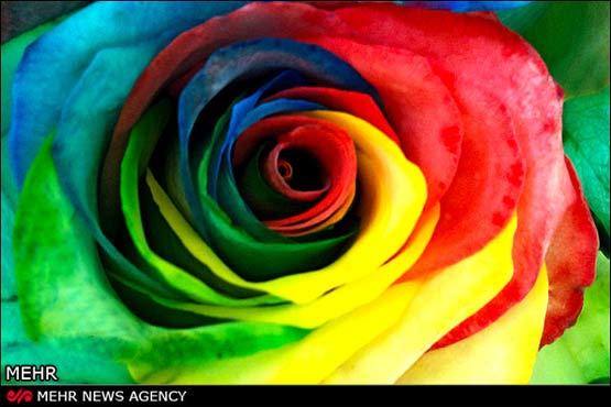 رزهای رنگینکمانی اختراع زوج ایرانی