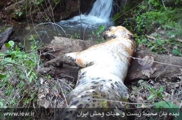 مرگ یک قلاده پلنگ ایرانی در شهرستان لردگان