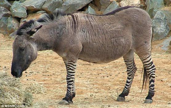 تصاویری از یک حیوان بسیار نادر به نام «زانکی»