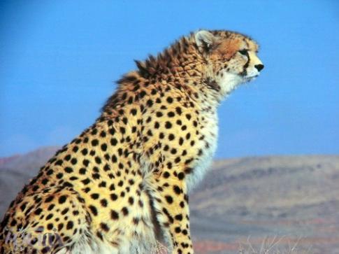 يوزپلنگ را نماد ايران در جام جهاني كنيم