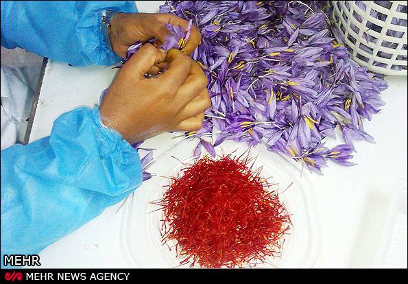 سونامی زعفران افغانی در راه است