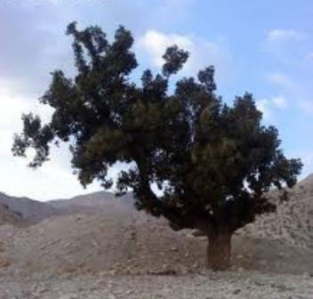 مرگ کهن ترین و تنهاترین درخت بلوط ایلام