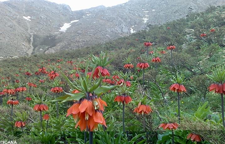 Image result for دشت لاله های واژگون چهارمحال و بختیاری