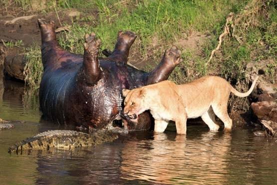 نبرد شیر با کروکودیلها