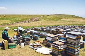 داروهای   تقلبی ، زنبورهای عسل را عقیم کرد سایت خبری تحلیلی تابناك|اخبار  ایران  و جهان|TABNAK