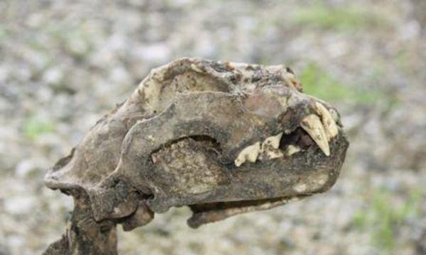 کشف لاشه یک پلنگ ایرانی در پارک ملی گلستان