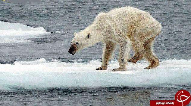 تصویری تکاندهنده از یک خرس قطبی