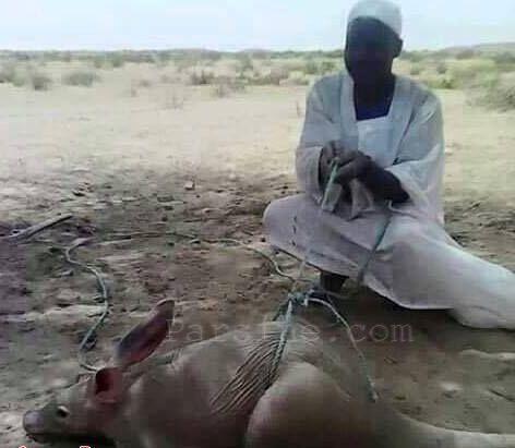 شکار خرگوش عظیم الجثه در سودان