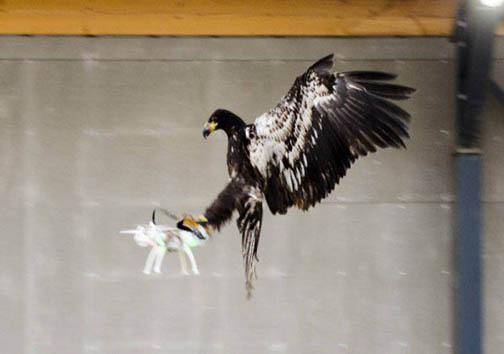 استفاده از عقاب برای مقابله با پهبادها