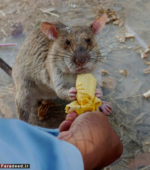 موشهای فداکار در کامبوج