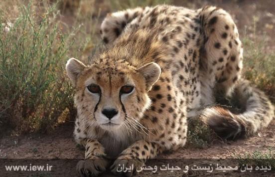 خبر خوش؛ یوز ایرانی یک گام از انقراض فاصله گرفت