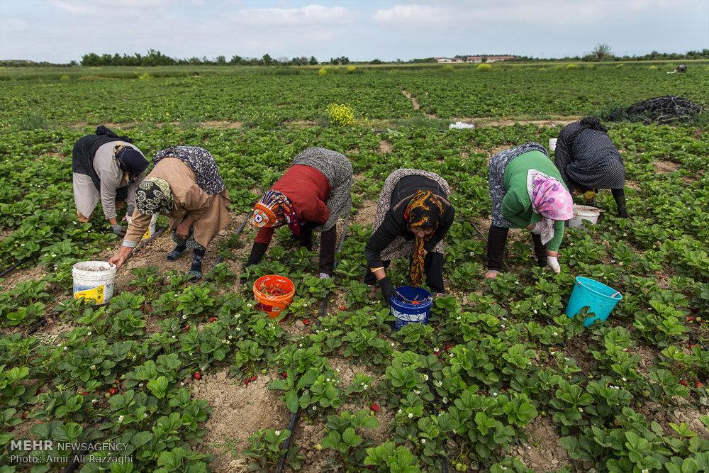 اشتغال و اقتصاد با طعم توتفرنگی