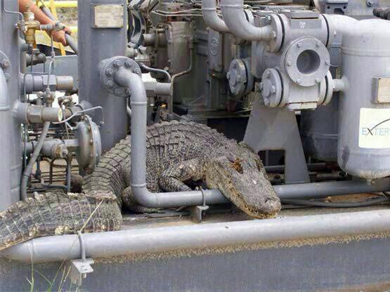 مشاهده تمساح در تاسیسات عسلویه!