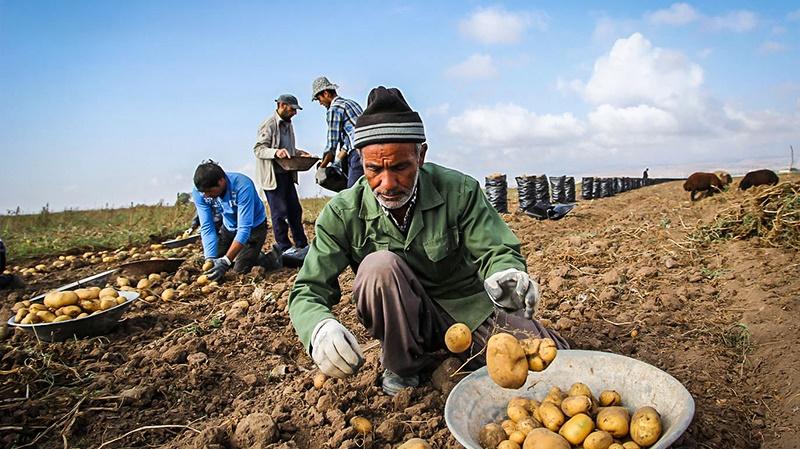 550475 447 آمار سیبزمینیهای دفن شده خیلی بیشتر از ۱۷۰۰ تن است!