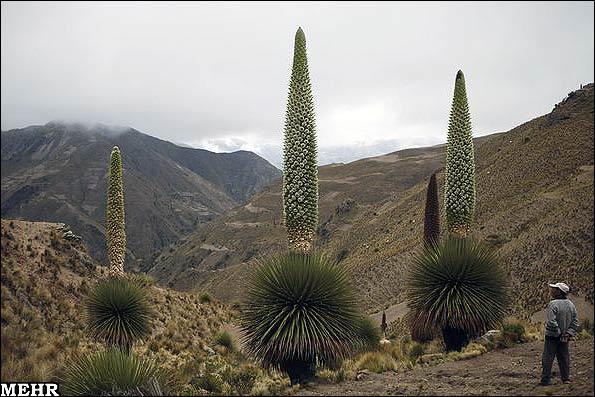 گیاهی که در یک قرن فقط یک بار گل میدهد