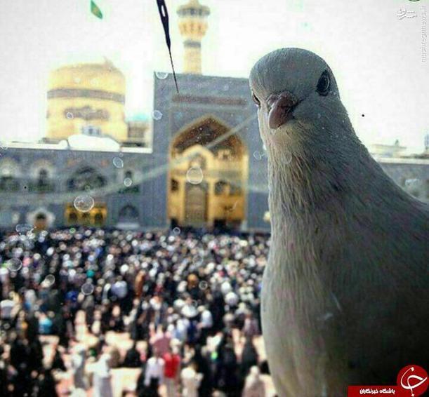 سلفی کبوتر با حرم امام رضا (ع)