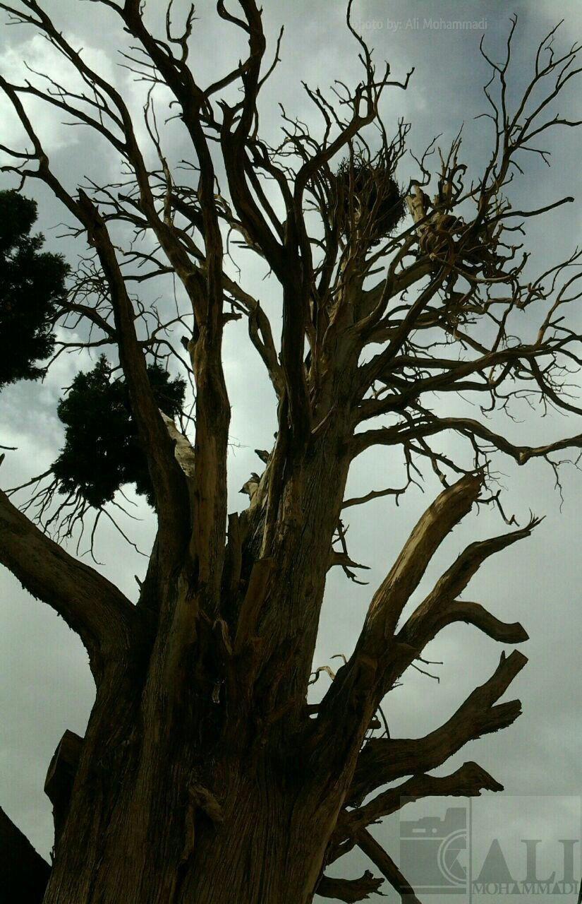 سرو کهنسال روستاي تاريخي گوشه