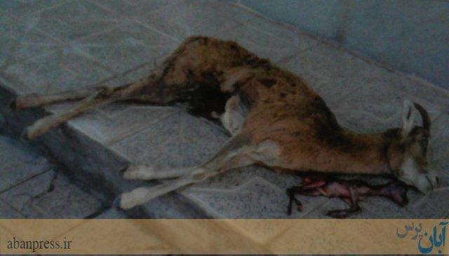 اقدام منزجرکنندۀ یک شکارچی در کرمان
