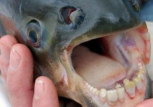 کشف ماهی با دندانهایی شبیه به انسان