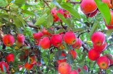 صادرات به چه قیمتی؟!  سیب صادراتی کیلویی هزار تومان!