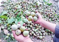 ایران سومین تولیدکننده گردو در دنیا/ گردوهای خارجی هم قاچاق از آب درآمد/کرم چوبخوار در کمین باغهای گردو