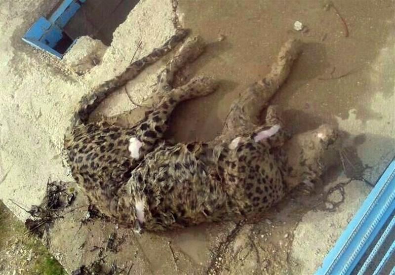 یک پلنگ ایرانی، قربانی استخر کشاورزان شد!