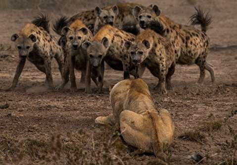 کفتارها؛ بربرهای حیات وحش