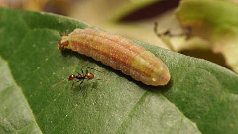 مورچههای خائن و رشوه کرمها!