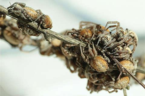 عنکبوتهای مادرخوار