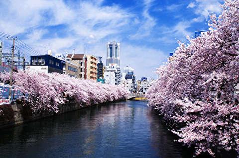 فصل شکوفههای گیلاس یوکوهاما