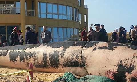 جسد نهنگ 12 متری در ساحل اسکندریه