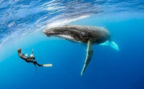 شنا با نهنگ گوژپشت