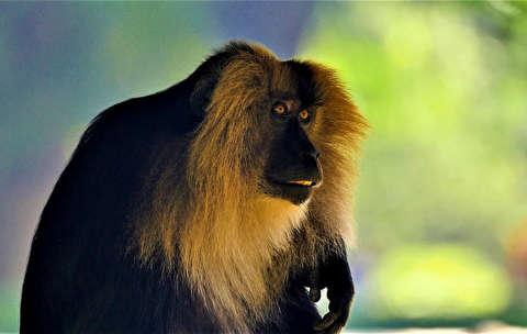 تماشای میمون با کیفیت 4K