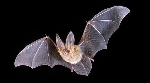 خفاش عقرب خوار پرواز نمیکند، راه میرود