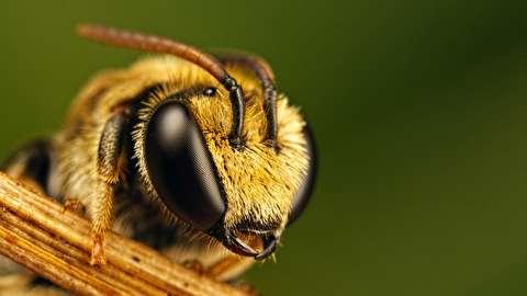 تماشای زنبور عسل با لنز ماکرو