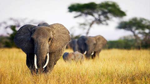 تماشای فیلها از نمای نزدیک