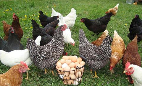 نابودی یک چهارم مرغهای تخمگذار!