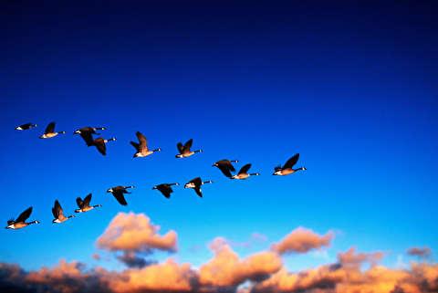 مهاجرت پرندگان، یک سفر پر خطر