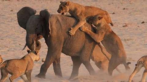 نبرد یک فیل شجاع با 14 شیر