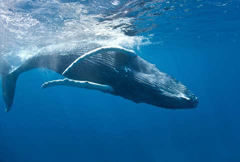 چرا نهنگها آواز میخوانند؟