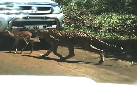 شکار ایمپالای جوان توسط یوزپلنگ و بچهاش