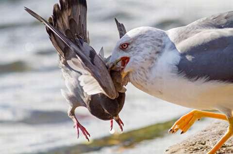 شکار کبوتر توسط حیوانات مختلف