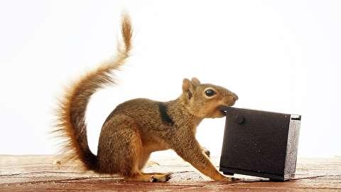 کلافگی سنجابها