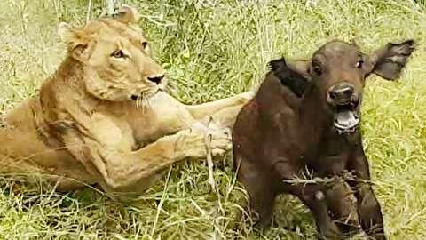 شکار بچه گاومیش آفریقایی توسط شیرها